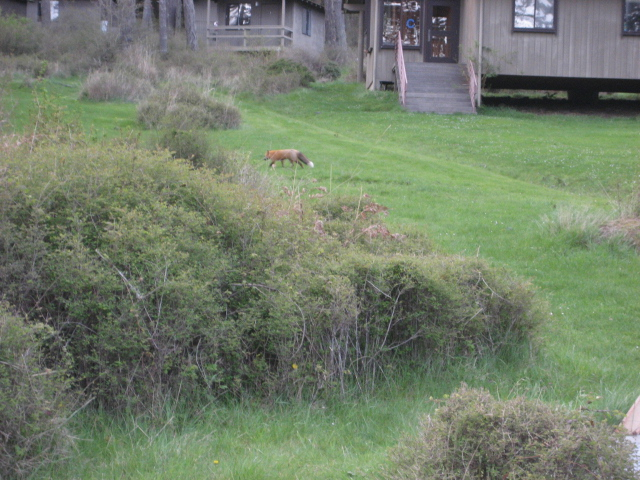 Red Fox on campus